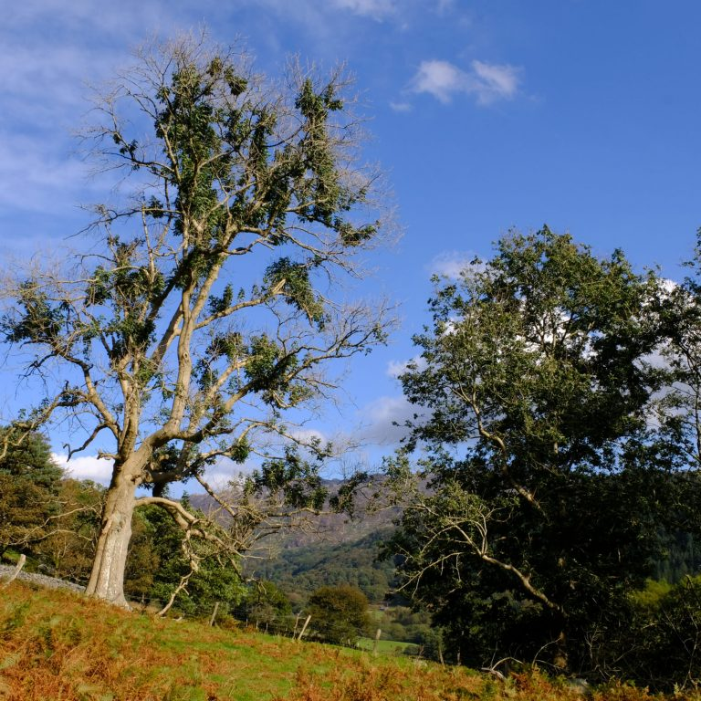 Ash dieback, Hymenoscyphus fraxineus in a mature ash tree in Snowdonia, North Wales.